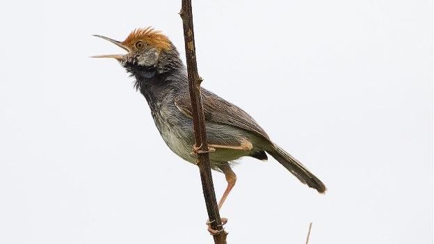 [Ciencia] Se anuncia una nueva especie de ave en Camboya.